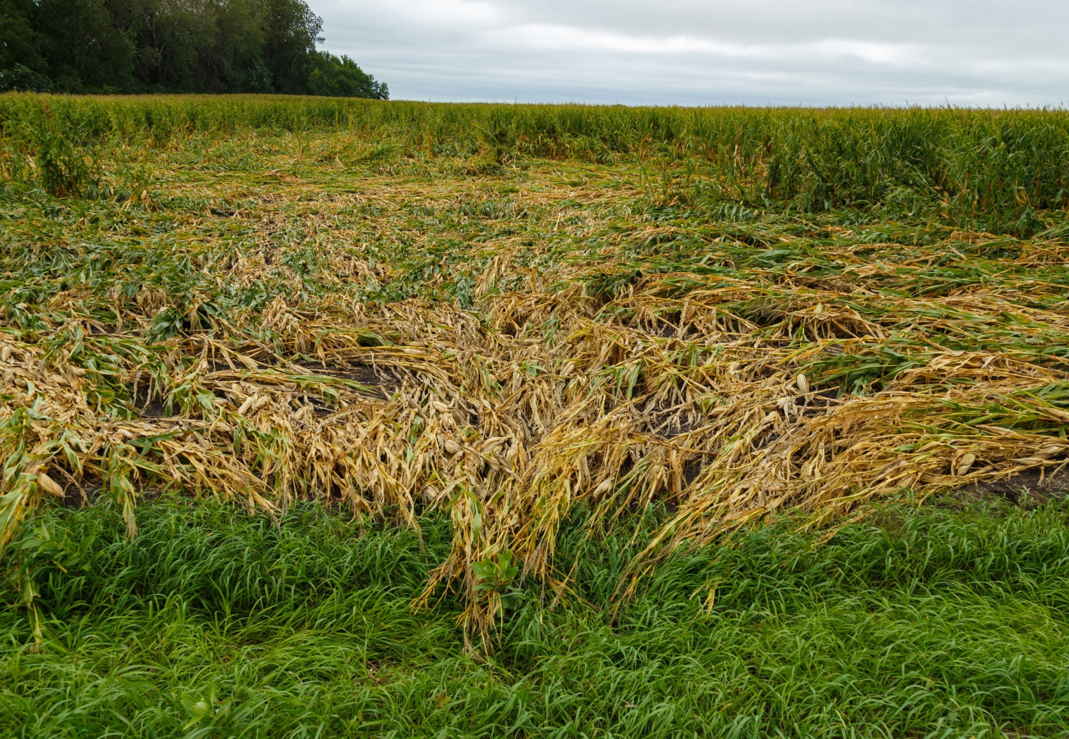 Convergent damage path through corn for one of the ground-surveyed tornadoes on September 10, 2014 just north of Dayton in Webster County.